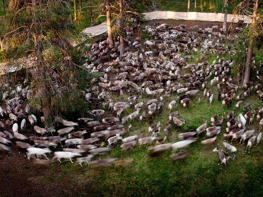 500 renne in capannoni per etichettatura frettolosa, in un'antica foresta di continuità segnalata abbattuta - ma fermata da Sammy, a nord di Lulea.