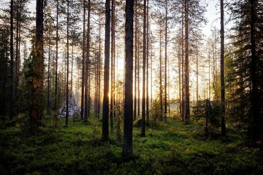 Un corno costruito da Henrik Anderson, in un'antica foresta salvata dalle proteste dei Sami.